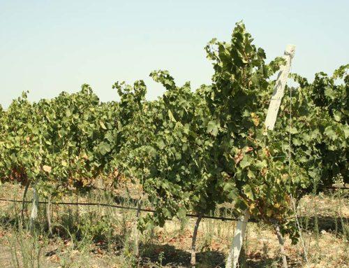 I grandi vitigni siciliani: il Moscato bianco di Siracusa
