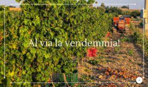 Vendemmiare in Sicilia si parte con il Moscato - Cantine Gulino