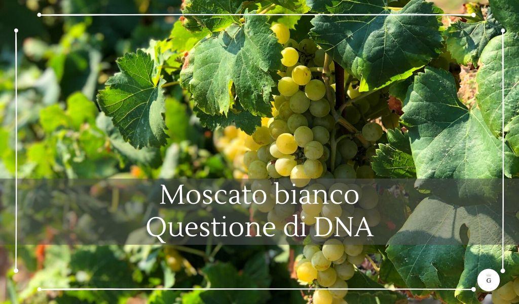 Moscato bianco alle origini del vitigno con il DNA - cantine gulino