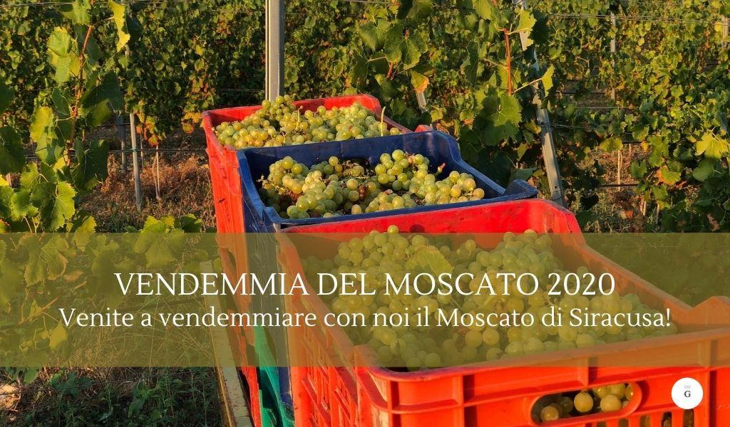 Vendemmiare in Sicilia venite a vendemmiare il Moscato di Siracusa - Cantine Gulino-